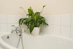 planta-crinul-pacii-spathiphyllum