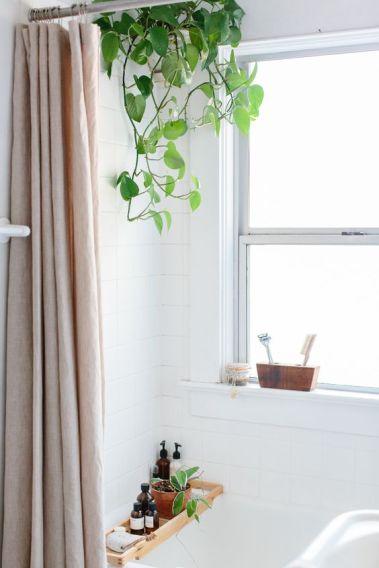 pothos-auriu-planta-suspendata-baie